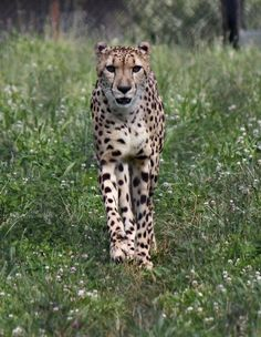 This beautiful Cheetah lives at a drive through safari in The Natural Bridge, VA area.  There are 2 of them; they have a big area to live and play.  Cats are my favorite animal whether it be wild or domestic.