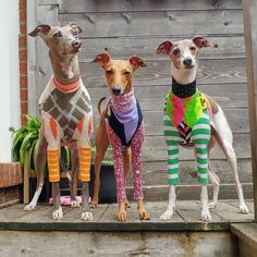 I Love Dogs, Cute Dogs, Italian Greyhound Clothes, Animals And Pets, Cute Animals, Whippet Dog, Dog Sweaters, Dog Coats, Beautiful Dogs