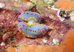 https://flic.kr/p/NK1BWe   Blue lurv! Bennett's nudibranch - Hypselodoris bennetti #marineexplorer