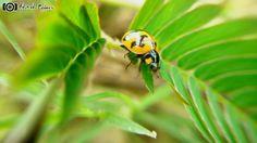 Lady bug  #natureart #nature #beautiful #natureaddict #naturelovers #awesomeearth #igersindia #earthpix #nature_perfection #igs_asia #photography #india_ig #fotofanatics_macro_ #top_macro #rasayani #igs_alls #macrophotography #travellushes bug #ladybug #macro_perfection #desi_foto #macro_holic #i_hobbygraphy #macro_aroundworld #mobile_perfection #mobile_nature #mobilecaptures #mobile_click #xiaomi by ashitosh_kedari_s_clicks