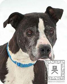 Fredericksburg, VA - American Pit Bull Terrier/Labrador Retriever Mix. Meet URGENT Spotsylvania #14-2075 Gertie a Dog for Adoption.