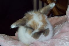 Holland Lop Bunnies - Facebook Gabbies Goats and More