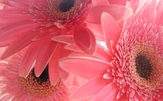 colorful daisy wallpaper download hd