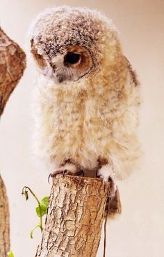 Baby owl on a tree branch