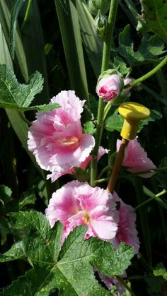 Hollyhock double blooms
