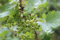 Punainen viinimarja Berry, Nature Photography, Fruit, Garden, Garten, Lawn And Garden, Bury, Nature Pictures, Gardens
