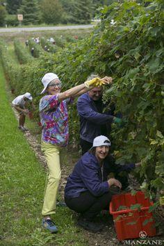 La raccolta dell'uva ad opera dei non vedenti e ipovedenti dell'UICI di Treviso