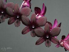 Dendrobium Quique Ramirez 'Karen's Delight'