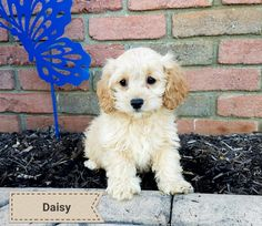 105 Best Cockapoo Puppies Images In 2019 Cockapoo Puppies For Sale