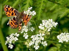 Nature Today | Landkaartje houdt van fluitenkruid