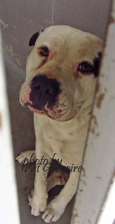 A4800612 I am a 3 yr old male white/black pit bull mix. I came to the shelter as a stray on Feb 14. available 2/18/15. very frightened. Baldwin Park shelter https://www.facebook.com/photo.php?fbid=927644123914092&set=pb.100000055391837.-2207520000.1424553597.&type=3&theater