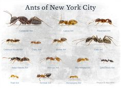 "I am pleased to announce the release of the next eBook in Dr. Eleanor's ""Common Ants"" series, this time covering the myrmecofauna of New York City. The book, intended as an introduction to ant biol. Ant Species, Insect Species, Ants In House, Tennessee Honey, Black Ants, New York City, Image, Insects, Biology"