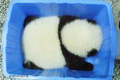 Bucket o' Panda Cute Funny Animals, Cute Baby Animals, Funny Cute, Animals And Pets, Panda Kawaii, Cute Panda, Baby Panda Bears, Baby Pandas, Fluffy Animals