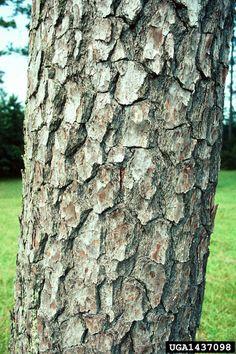 """Pinaceae Pinus taeda """"Loblolly Pine"""""""
