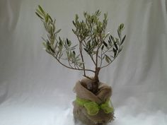 Bonsai Olea europaea, Olive Tree, gift presentation by Herber Plants Designs.