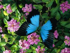 Google Image Result for http://cache2.allpostersimages.com/p/LRG/27/2705/S7GND00Z/posters/toft-roy-a-ulysses-butterfly-native-to-australia-lands-on-some-pink-flowers.jpg