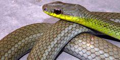 Mastigodryas boddaerti, Floridablanca (Santander). Reptiles, Snake, Animals, Ideas, Animales, Animaux, A Snake, Animal, Animais