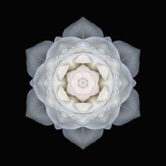 White rose mandala by David Bookbinder
