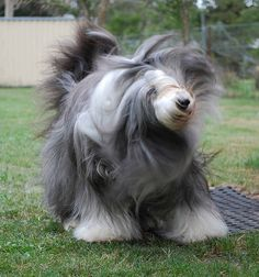 Doing the Bearded Collie Shake   by lyntreecollies, via Flickr