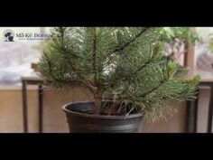 Bonsai Tutorials for Beginners : Shortening a Nursery Plant to become a bonsai - YouTube