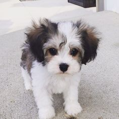 Cavachon – Cavalier King Charles Spaniel and Bichon Frise Cavachon – Cavalier King Charles Spaniel und Bichon Frise Bichon Frise, Cute Baby Animals, Animals And Pets, Cavachon Puppies, Maltipoo, Bichons, Pomeranian Puppy, Yorkie, Cavalier King Charles Spaniel