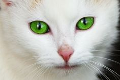 Facts about Cats with big blue eyes   #cats #eyes #blue #big