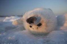 Harp seals get their name from a harp shaped marking found on the adult seals. They spend ...