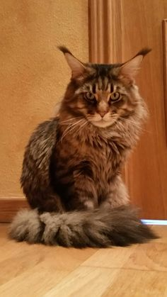Aslan, gato Maine Coon
