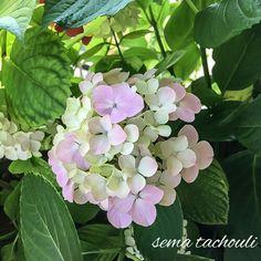 #flowers #hydrangea #ortanca #çiçek