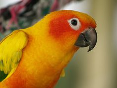 A Sun Conure Parrot. I own one of these also. I have the Sun and the Moon. What more could I ask for!