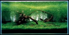 Undergrowth and Its Maintenance in the Nature Aquarium | Details ...