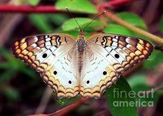 """""""Beautiful Butterfly"""" by Carol Groenen."""