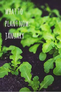 You don't have to wait for Spring to grow new plants, some are perfectly happy to get going in January. Here are my top picks for what to plant in January.