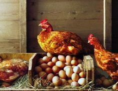 On your small farm, use a deep litter method to compost your pine shavings, straw or hay in place in your chicken coop and keep it smelling clean.