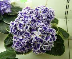Saintpaulia African Violet  Letniye Sumerki    Leaf - Russian Variety