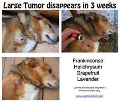 Dog tumor and oils Young Living Oils, Young Living Essential Oils, Tumors On Dogs, Humane Society Dogs, Essential Oils Dogs, Oils For Dogs, Healthy Pets, Pet Dogs, Gatos