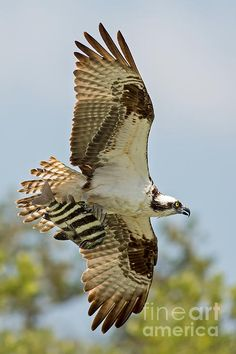 An osprey catches a fish and flies over with his prize in Florida at Everglades National Park.