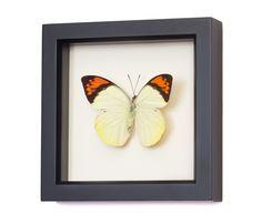 butterfly framed art | hebomoia glaucippe | great orange tip butterfly