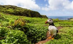 One of the thousands of puffins that see birdwatchers flocking to Skomer Island, Pembrokeshire.