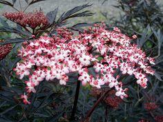 Sambucus nigra 'Black Lace' - Ce sureau porte probablement l'un des plus beau feuillage lacinié ! Le contraste entre le feuillage noir et les inflorescences rosé et crème est saisissant. Une merveille qui devrait trouver sa place dans de nombreux jardins.