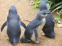 You don't have to be crazy to believe in the existence of Little People. They exist. We call them penguins. Join me in reminiscing about wild penguins I have known. 2015-02-27 06:55
