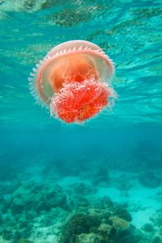 Jellyfish underwater ocean sea jelly wallpaper x Under The Water, Under The Sea, Underwater Creatures, Ocean Creatures, Underwater Animals, Medusa Animal, Foto Poster, Deep Blue Sea, Water Life