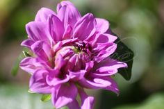 We did put in a dahlia patch this year 2013.Some from seed, others like the dinner plates were from starts.