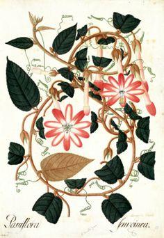 Passiflora ferruginea. Proyecto de digitalización de los dibujos de la Real Expedición Botánica del Nuevo Reino de Granada (1783-1816), dirigida por José Celestino Mutis: www.rjb.csic.es/icones/mutis. Real Jardín Botánico-CSIC.