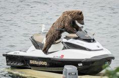 Meanwhile, in Alaska: A Bear Riding a Sea-Doo - Neatorama