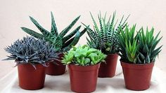 """#organic #healthy Size: 3"""" Pot - 5 #Plants Haworthias are a genus of small succulent plants confined in the wild almost exclusively to the Republic of South Afri..."""
