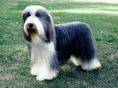 Bearded Collie Quick Facts    Bearded Collies are great pets, but also still work as herders all over the world! They love exercise and are outgoing, friendly and humorous.