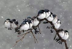Birds perch on a branch during a spring snowstorm in Pembroke, N.Y., Monday, April 23, 2012. A spring nor'easter packing soaking rain and high winds churned up the Northeast Monday morning, unleashing a burst of winter and up to a foot of snow in higher elevations inland, closing some schools and sparking concerns of power outages. (AP Photo/David Duprey)