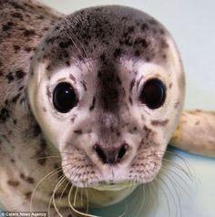 Gouda the Harbor Seal