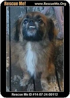 2 / 11   Tyler, TX - Pekingese/Tibetan Spaniel Mix. Meet Bluto, a dog for adoption. Rescue Group: Pekes and You Pekingese Rescue - Texas Chapter E-mail:  pekesandyoutx@gmail.com   Website:  http://pekesandyou.com  Address: Tyler, TX 75701  Donate: Donate to this Rescue Group   http://www.adoptapet.com/pet/11235839-tyler-texas-pekingese-mix